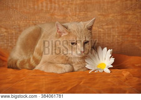 Beautiful Red Cat Lies Next To A Camomile