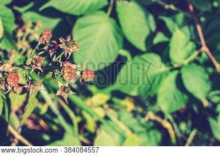 Wild Young Bramble, Black Berry Grow In Sokolniki Park, Moscow