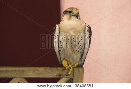 White Peregrine Falcon