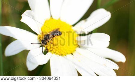 Macro Of A Tenthredo Sawfly On A Camomile Flower