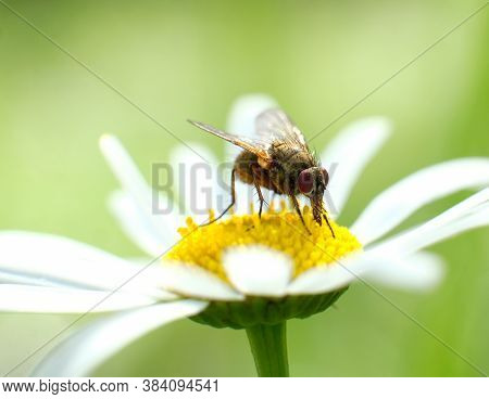 Macro Photo Of A Fly On A Camomile Flower