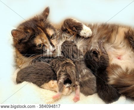 Mama Cat With Kittens At Home  Close Up