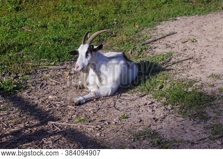 The Goat Is Basking In The Sun.