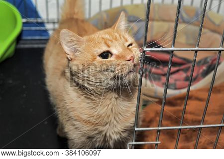 Red Cat In A Cage In A Shelter