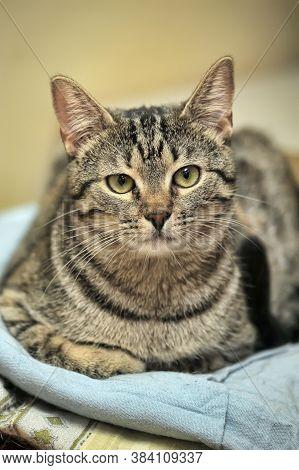 Tabby European Shorthair Cat Close Up  Photo
