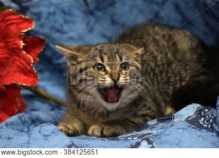 Scared Tabby Kitten Meows, Hisses Close Up