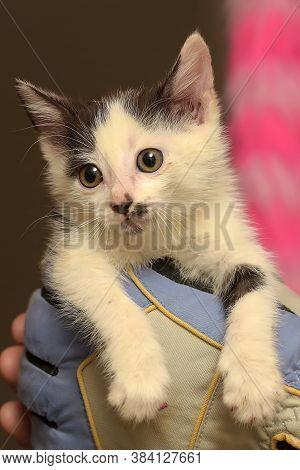Little Harmful Black And White Kitten In Hand