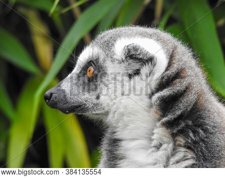 A Ring-tailed Lemur With Yellow Eyes Looking Away