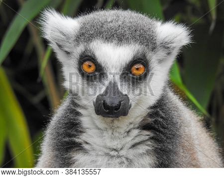 A Ring Tailed Lemur With Yellow Eyes Up Close