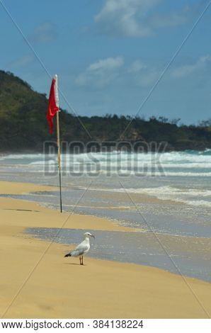 A Seagull Is Standing On A Beach, Holding Its Catch In Its Beak. A Red Flag Warns Against Swimming.