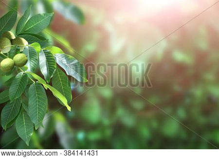 Branch with leaves and green walnuts (Juglans regia, Persian walnut, English walnut) on sunny background. Horizontal banner with branches and ripening fruits of Circassian walnut. Copy space for text