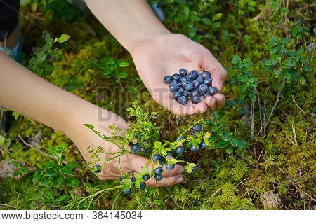 Woman Collects Organic Blueberries In The Forest. Female Hands Collect Blueberries In The Summer For