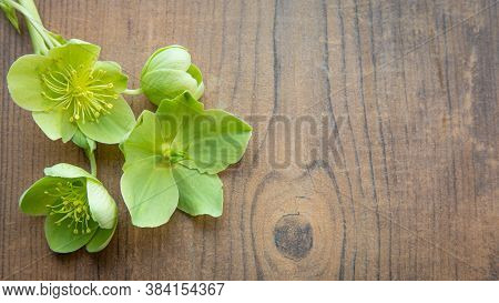Background With Yellow Green Helleborus Viridis Or Christmas Rose On A Brown Wooden Background