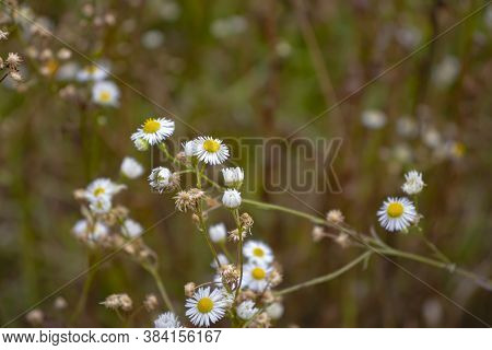 Camomile Field In The Morning. Spring Beaty And Herbal Medicine.