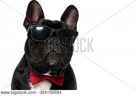 Cool French Bulldog puppy wearing bowtie and sunglasses, looking forward on white studio background