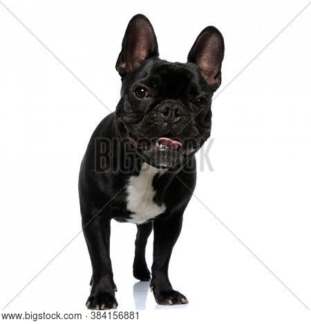 Happy French Bulldog puppy smiling and panting, standing on white studio background