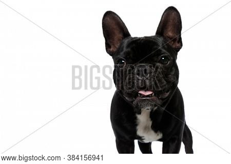 Happy French Bulldog puppy looking forward and panting on white studio background