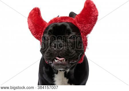 Lovely French Bulldog puppy wearing devil horns, panting and smiling on white studio background