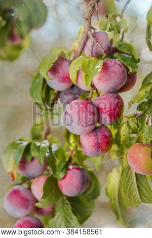 Garden Plum Tree. A Branch Of A Garden Plum Tree With Abundance Of Hanging Ripening Plums. Spain.