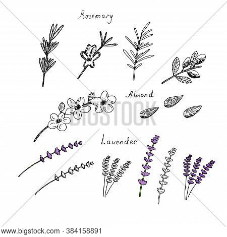 Set Of Rosemary Lavender And Almond Twigs Flowers And Nuts Vector Illustration Hand Drawing