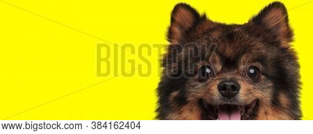 Happy Pomeranian looking forward and panting on yellow studio background