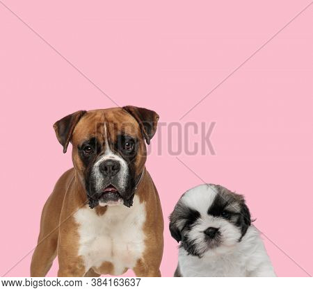 team of boxer and shih tzu panting on pink background