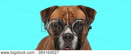 adorable funny Boxer dog standing, wearing eyeglasses and panting on blue background