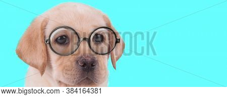 young funny Labrador Retriever dog sitting with no occupation, wearing eyeglasses and looking away on blue background