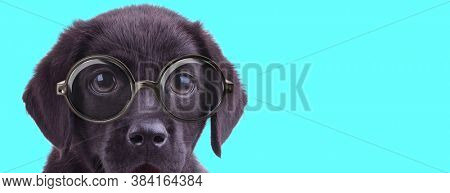 adorable young Labrador Retriever dog wearing eyeglasses, looking at camera on blue background