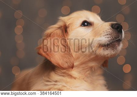 cute golden retriever pup looking up and laying down on background lights