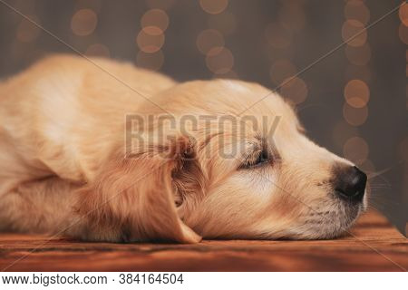 cute golden retriever puppy laying head down and looking to side, trying to fall asleep on wooden floor