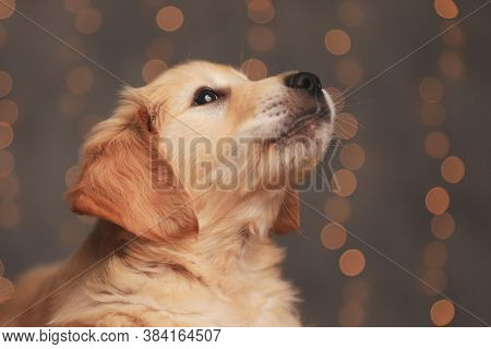 cute golden retriever dog looking up and laying down on background lights