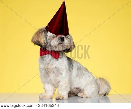 Clumsy Shih Tzu puppy wearing bowtie and party hat, sitting on yellow studio background