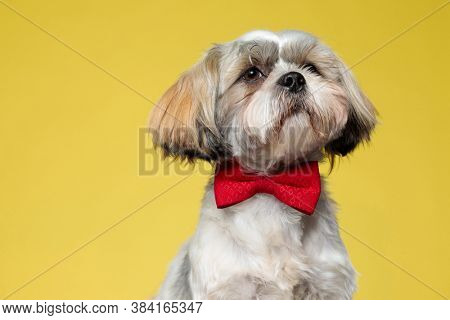 Wondering Shih Tzu puppy looking away and wearing bowtie on yellow studio background