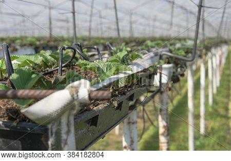 Young Strawberry Plants In An Strawberry Nursery In Belgium East Flanders In Sint Gillis Waas