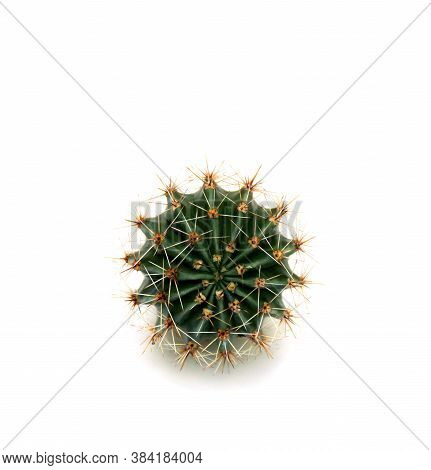 Cactus Echinopsis (known As: Hedgehog Cactus, Sea-urchin Cactus Or Easter Lily Cactus) On A White Ba