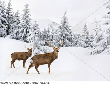 Winter Landscape With Sika Deers ( Cervus Nippon, Spotted Deer ) Walking In The Snow In Fir Forest A