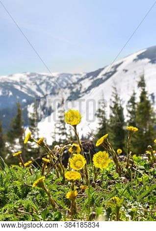Yellow Flowers Coltsfoot ( Tussilago Farfara ) Blooming In Spring On Glade In Mountains Covered Of S