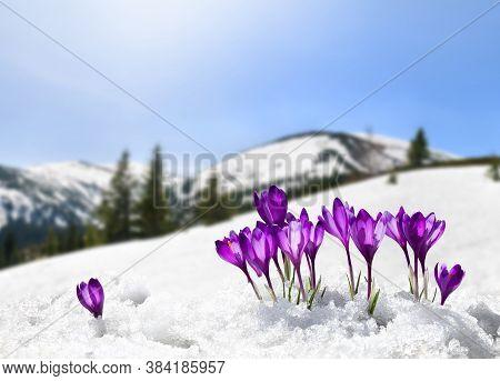 Spring Landscape Of Blooming Flowers Violet Crocuses ( Crocus Heuffelianus ) On Glade In Mountains C