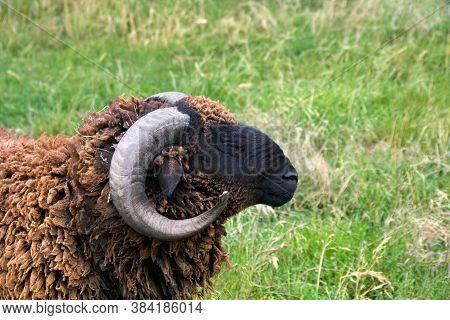 Brown Ram (ovis Aries) Grazing On A Green Meadow