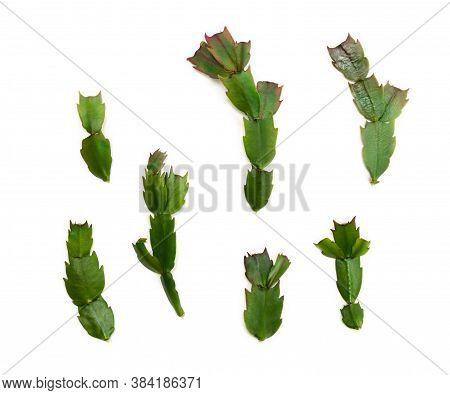 Leaves Cactuses (schlumbergera Truncata, Common Names: Christmas Cactus, Thanksgiving Cactus) On A W