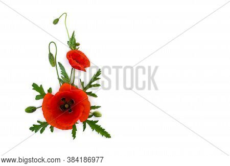 Flowers Red Poppy And Buds ( Papaver Rhoeas, Common Names: Corn Poppy, Corn Rose, Field Poppy, Red W