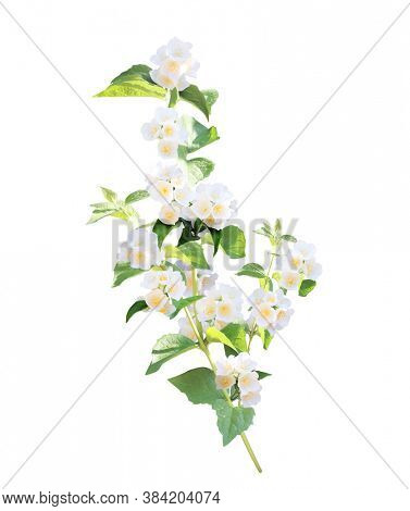 Branch of jasmine (Jasminum) with flowers. Sprig of blooming Jasmine. Isolated on white background