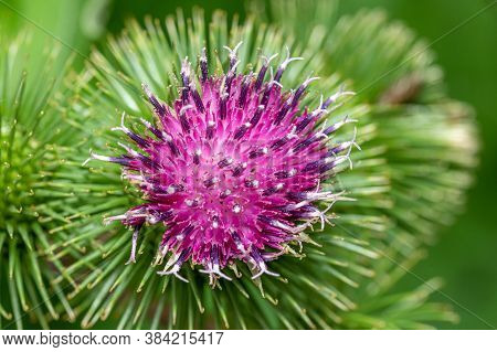 Bud Of A Banater Globular Thistle In Front Of Green Background
