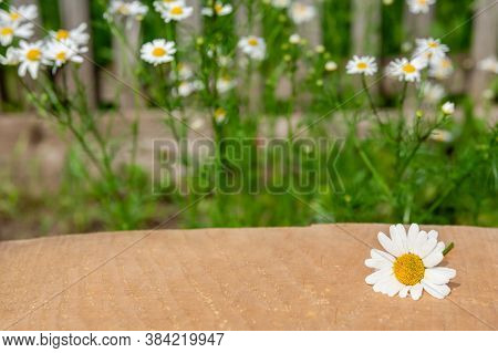 Wooden Board Table In Front Of Camomile Flower. For Montage Of Your Product