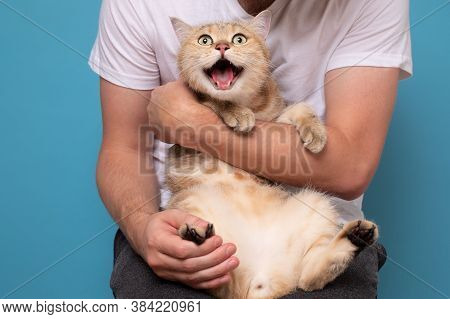 British Cat With Opened Mouth Meowing Sitting On His Owner Hands