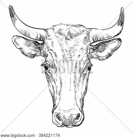 Monochrome Cow Head Sketch Hand Drawn Vector Illustration Isolated On White Background. Vintage Illu