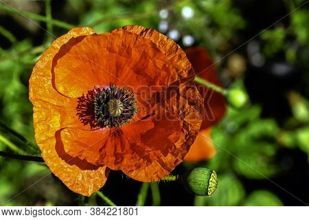 Papaver Rhoeas Known As  Common, Corn, Field, Flanders Or Red Poppy And Corn Rose