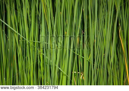 Background From Thickets Of Green Cattail. Copy Space