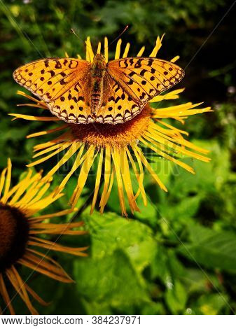 Butterfly On Yellow Flower In The Forest - Yellow Oxeye Flowers In The Forest Telekia Speciosa  Schr